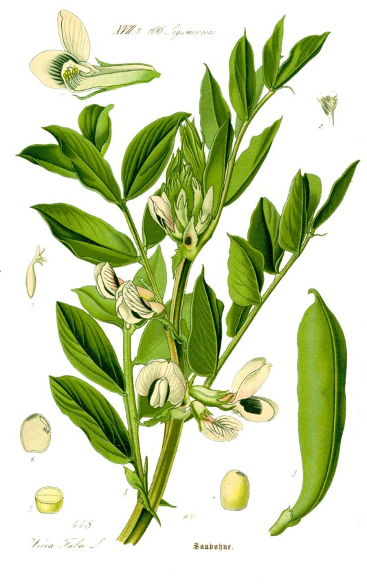 Vicia Faba major